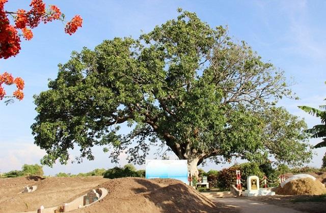 Cây xoài là một loại cây có nguồn gốc từ Ấn Độ và một số nước Đông Nam Á