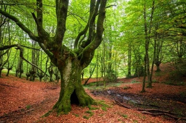 Cây gỗ bích là loại cây thuộc dòng gỗ cứng.
