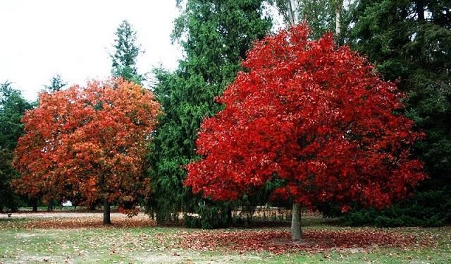 Cây gỗ sồi đỏ phân bố chủ yếu tại Đông Hoa Kỳ.