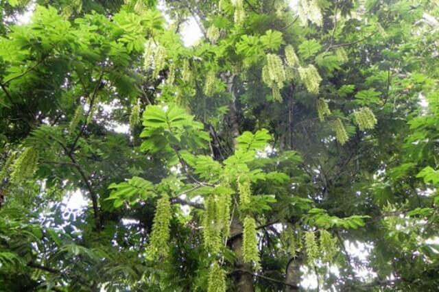 Cây gỗ trẹo là một trong những loài cây đặc trưng của vùng rừng núi Việt Nam.