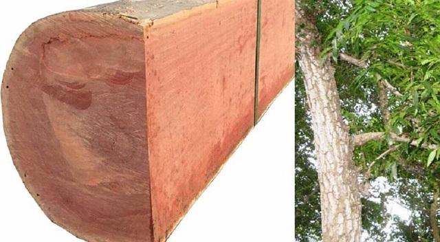 Gỗ xoan đào là gì? Gỗ xoan đào có tốt không khi mang vào sử dụng?
